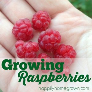 Raspberries are one of my favorite fruits, so I decided to grow them in our gardens. It didn't go as planned. Not even close. Here are 3 tips for growing raspberries, and 1 tip for killing them.