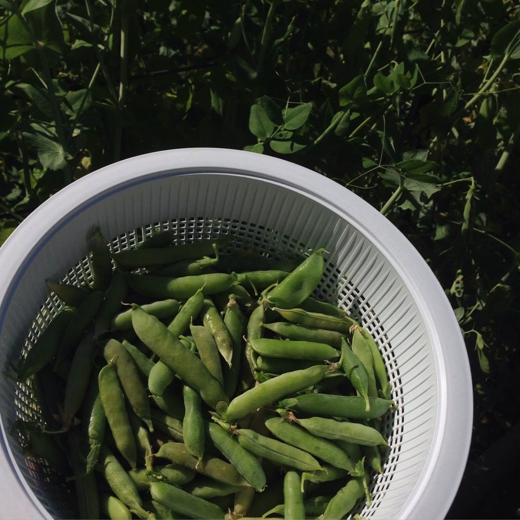 peas - first harvest of the season