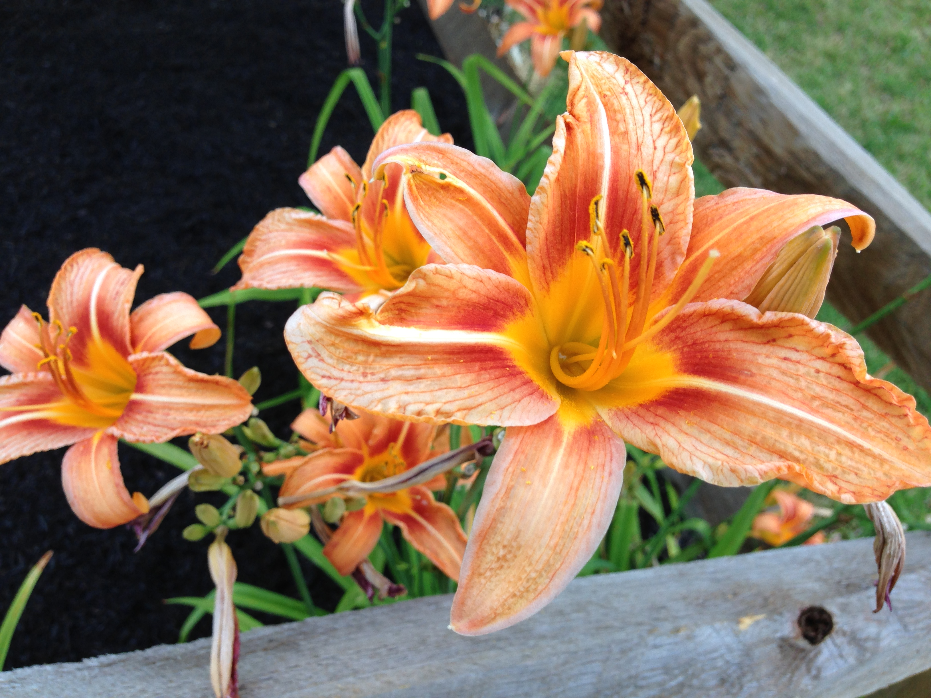 """We call these the """"Sangmeister Lilies"""" because they were originally planted at Vince & Charlotte Sangmeister's home in Mt Ephriam, NJ."""