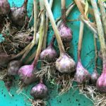 Growing Garlic - Plant now for summer harvests. Like spring flowers, garlic likes to be in the ground over winter before growing and producing throughout the spring.