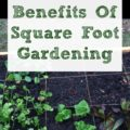 Square Foot Gardening is an opportunity to work smarter, not harder, in your raised bed gardens to have increased yield with less work and fewer resources.